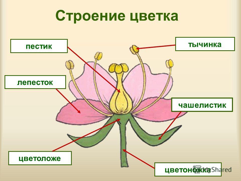 Цветок Википедия