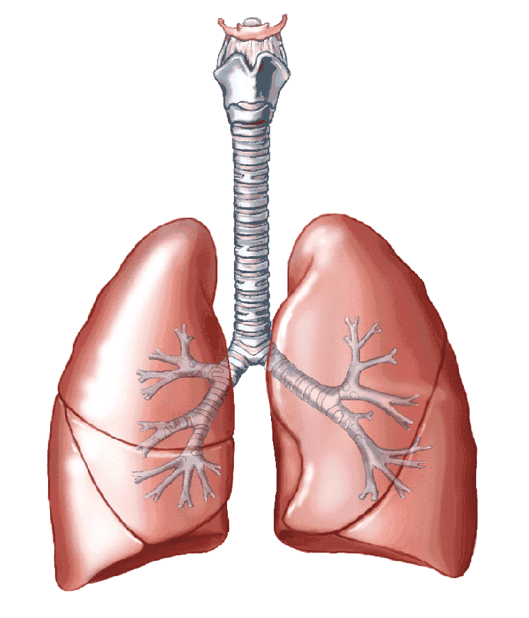 Respiratory Investigation Lungs Ans Trachea