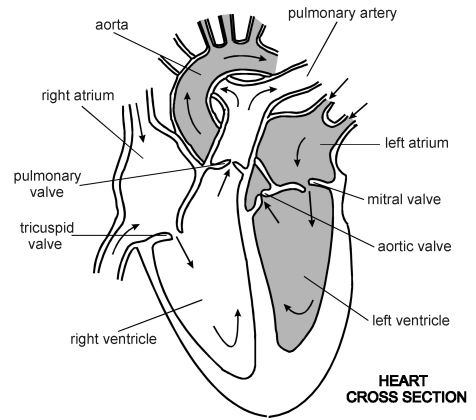 This Artery Transports De Oxygenated Blood Away From The