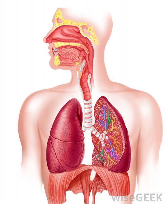 Epiglottis Esophagus Behind Airway Trachea Abdomen