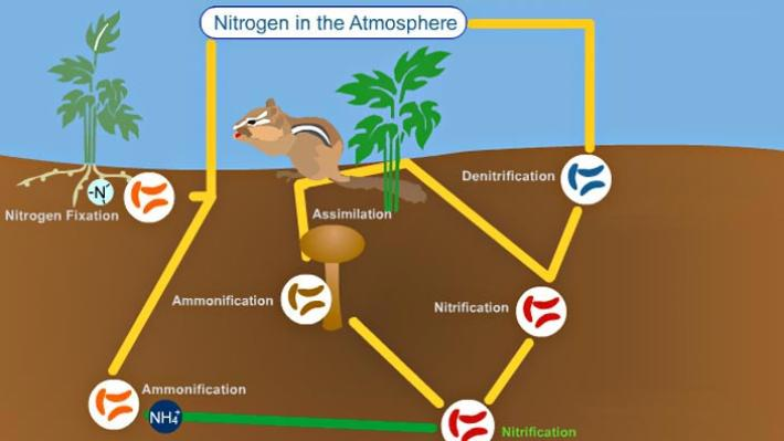 an introduction to the elemental gas the nitrogen Nitrogen and phosphorus are nutrients that are natural parts of aquatic ecosystems nitrogen is also the most abundant element in the air we breathe nitrogen and phosphorus support the growth of algae and aquatic plants, which provide food and habitat for fish, shellfish and smaller organisms that live in water.