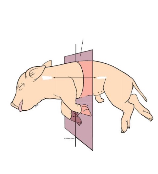transverse plane animal dissection