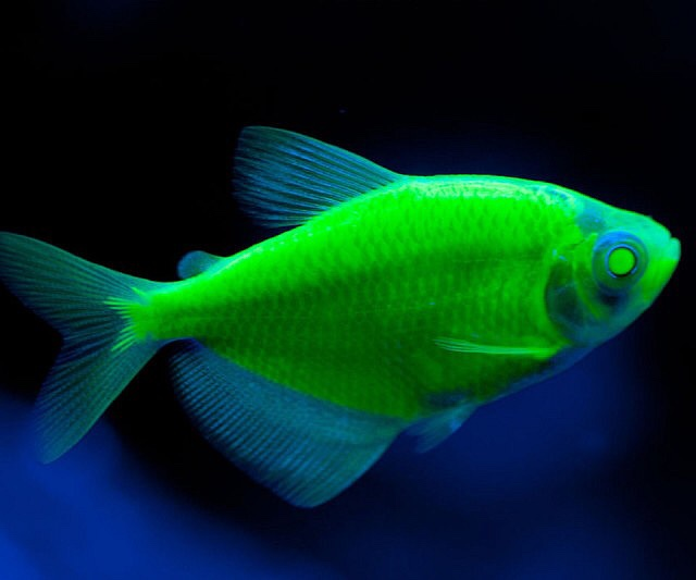 An interactive image thinglink for Glow in dark fish