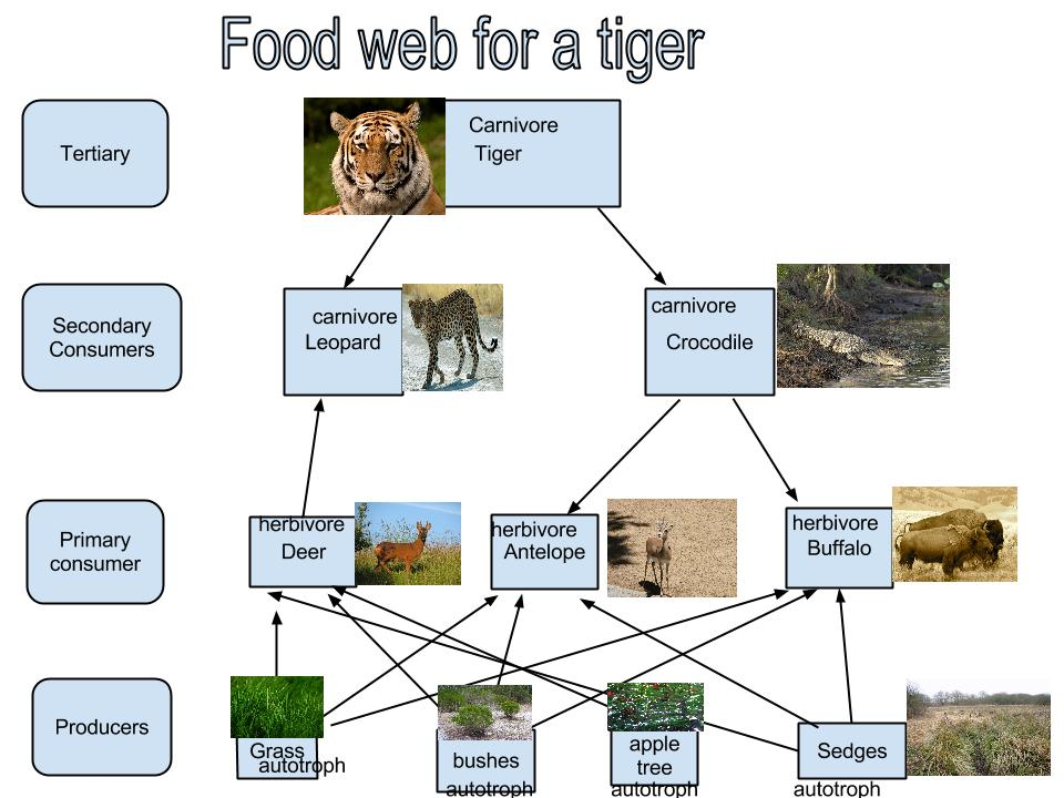 Sumatran Tiger Food Web Galleryhipcom The Hippest Galleries